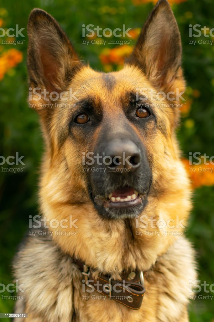 Portrait of a German shepherd, guard and pet on a background of...