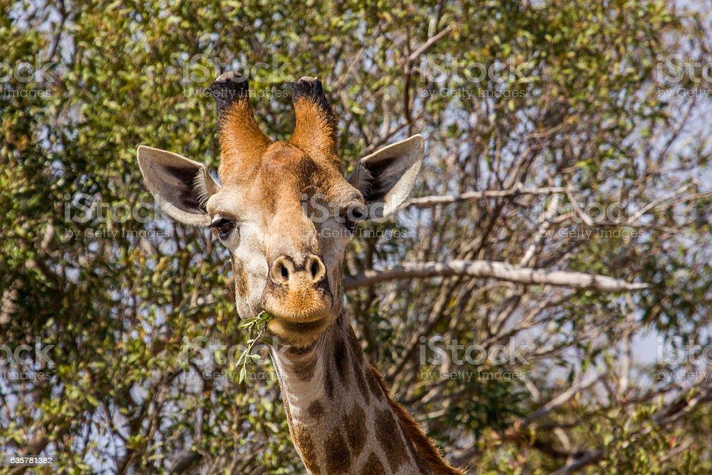 portrait of a giraffe grimacing in the bush stock photo