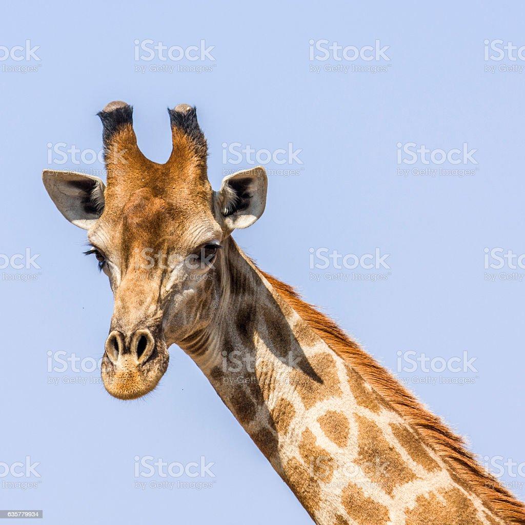 portrait of a giraffe in blue background stock photo