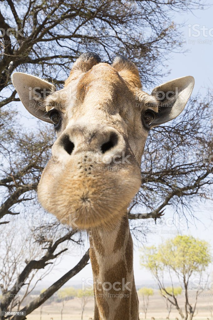 Portrait of a giraffe royalty-free stock photo