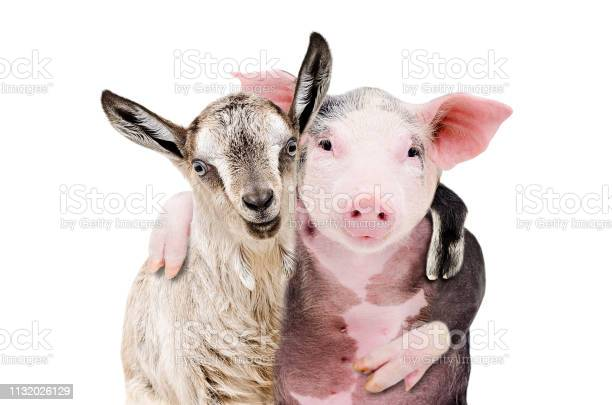 Portrait of a goat and a pig embracing each other isolated on white picture id1132026129?b=1&k=6&m=1132026129&s=612x612&h=1em7urz5jwph6jimvlckp9eu7ta8vigbtc2nglkgg90=