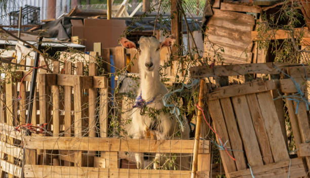 Portrait of a goat in a stable. stock photo