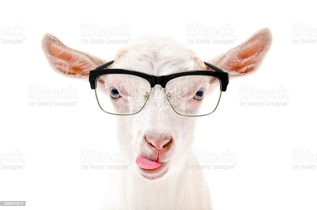 Portrait of a goat in glasses showing tongue