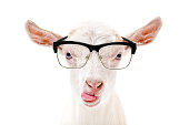 Portrait of a goat in glasses showing tongue isolated on a white background