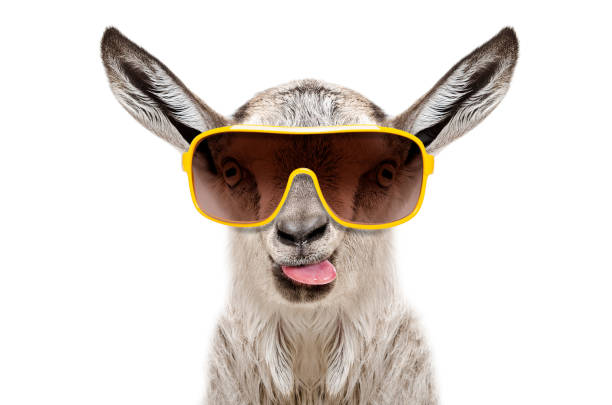 Portrait of a goat in sunglasses showing tongue stock photo