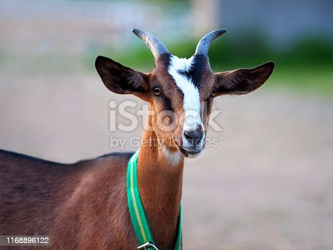 istock Portrait of a goat of Nubian breed 1168896122
