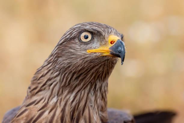 Portrait of a golden eagle picture id1187186657?b=1&k=6&m=1187186657&s=612x612&w=0&h=5ck0lxjy3spy4sgrwml5rtz3dzlb77d i5tkky8h4mw=