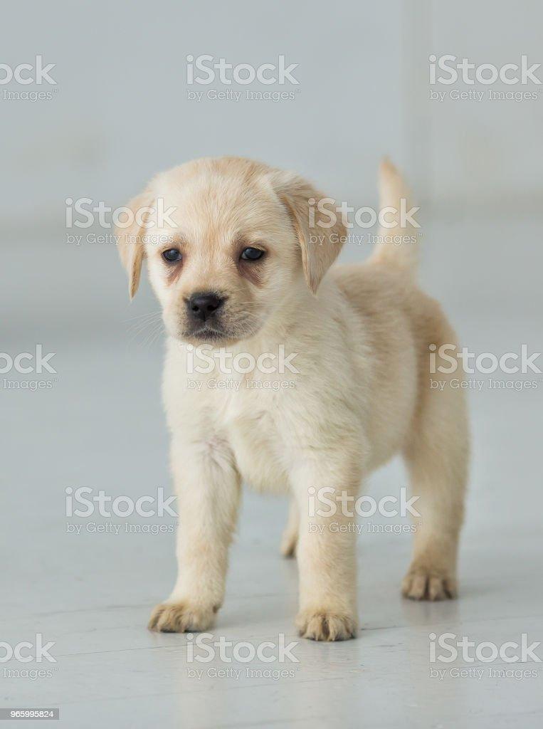 Porträt eines golden Labrador Welpen - Lizenzfrei Betrachtung Stock-Foto