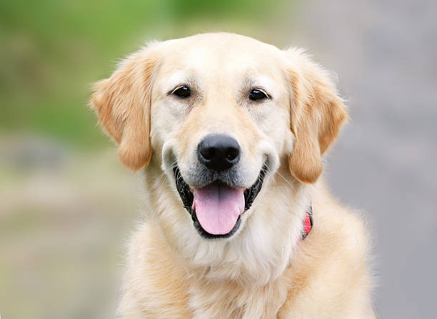 A portrait of a Golden Retriever stock photo