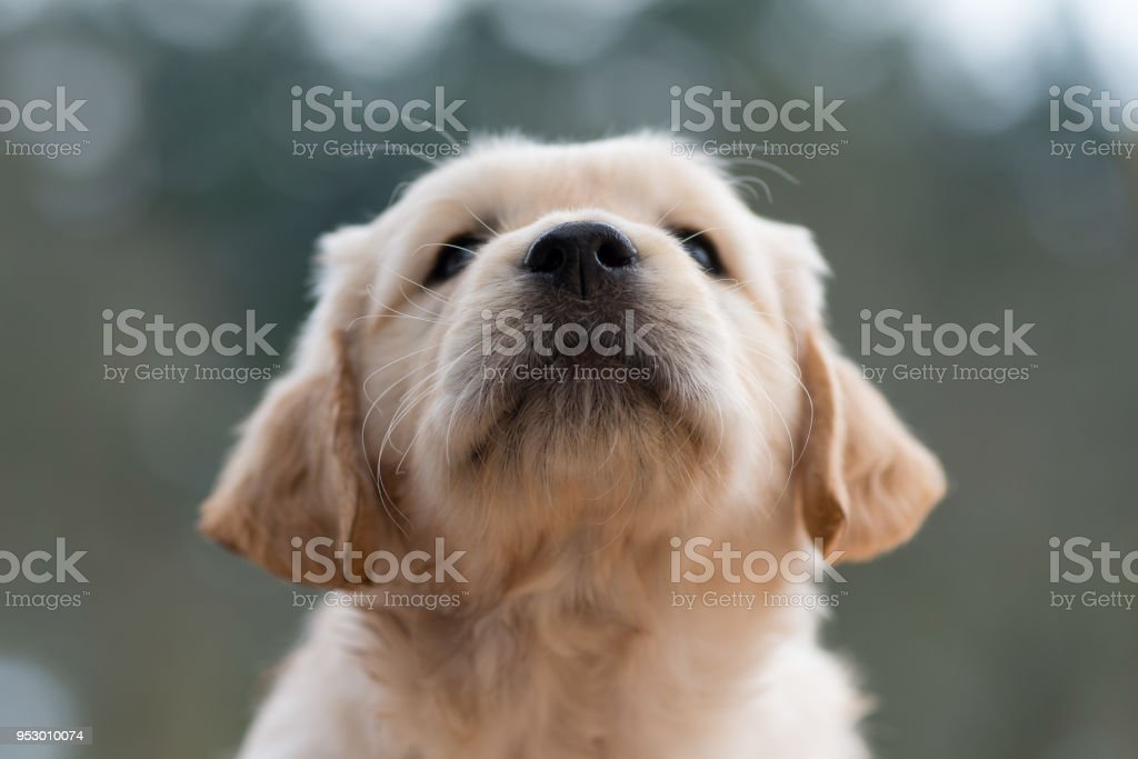 Portrait of a Golden Retriever puppy face with his little black nose. Close up from the nose. stock photo