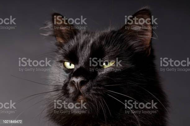 Portrait of a gorgeous fluffy black cat with bright yellow eyes picture id1021845472?b=1&k=6&m=1021845472&s=612x612&h=3o9  kbj6w62smh4zzccgf6ilkuu1 e10i cuenc8uq=
