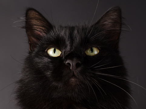 istock Portrait of a Gorgeous fluffy black cat with bright yellow eyes. 1021847570