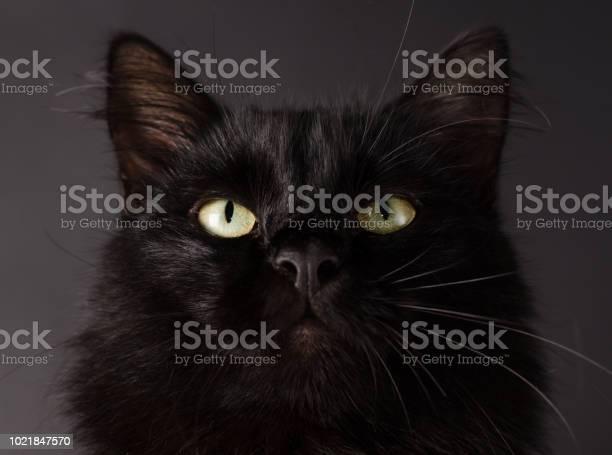 Portrait of a gorgeous fluffy black cat with bright yellow eyes picture id1021847570?b=1&k=6&m=1021847570&s=612x612&h=bpdfujtnf4jjuy0wkpfjrirnfukco3oj5adc3lrdsf4=