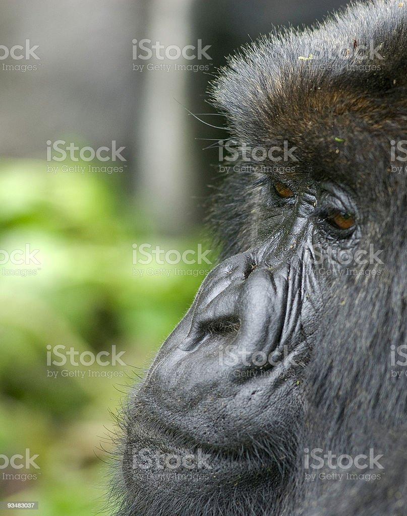 인물 사진 Gorilla 피지에 (시리즈 - 로열티 프리 검정 스톡 사진