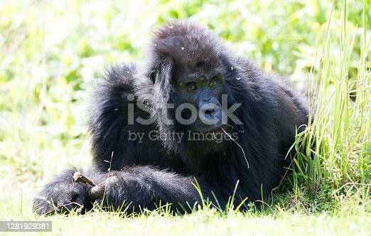 A close up of a gorilla within the parc national des volcanos- Rwanda