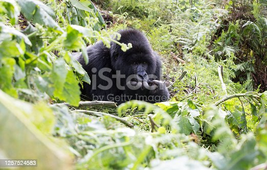 A close up of a gorilla's hand within the parc national des volcans- Rwanda