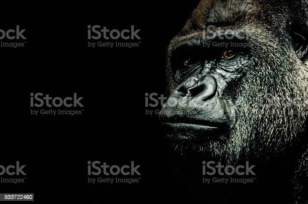 Free gorilla Images, Pictures, and Royalty-Free Stock Photos