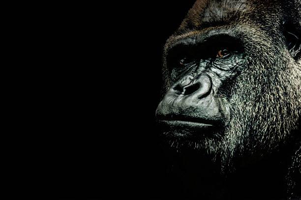 retrato de un gorila - gorila fotografías e imágenes de stock