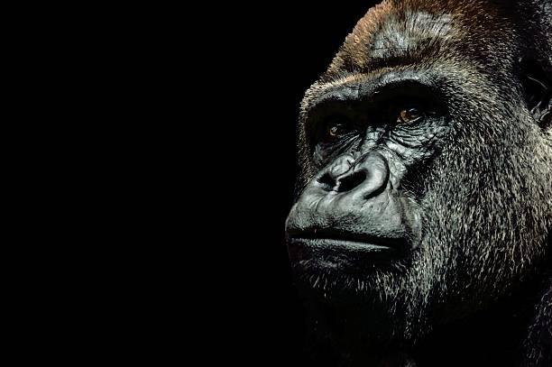 Portrait of a gorilla picture id547407866?b=1&k=6&m=547407866&s=612x612&w=0&h=6usbkmdukzxtrxjhx ghw2fgvp1uzu8xrpu5tdeut o=