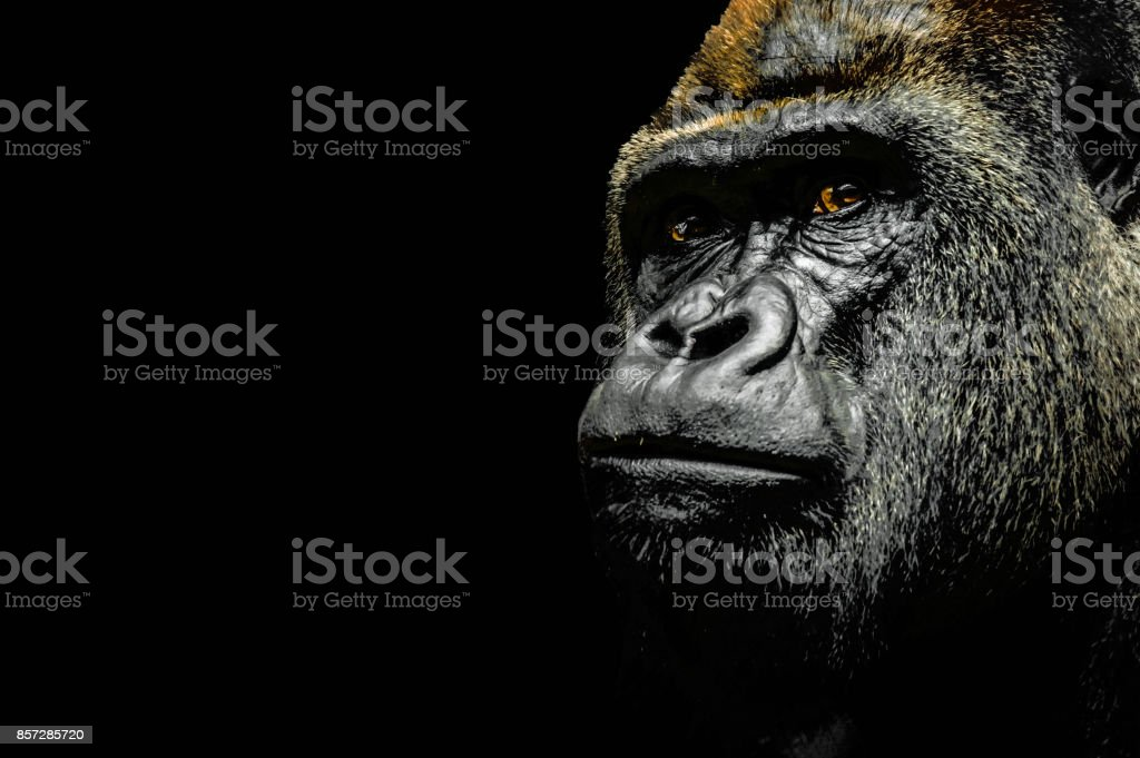 Portrait of a Gorilla stock photo