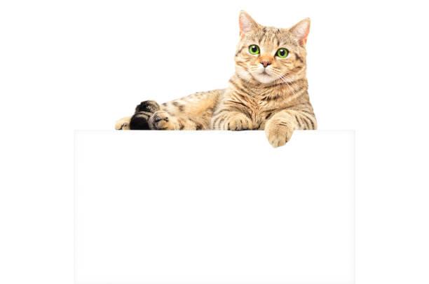 Portrait of a graceful cat scottish straight lying on the banner on picture id1131169591?b=1&k=6&m=1131169591&s=612x612&w=0&h=9nsbjwkfwwxhmxz0zxg6bnnlqosijfgzp1ssaglx6x0=