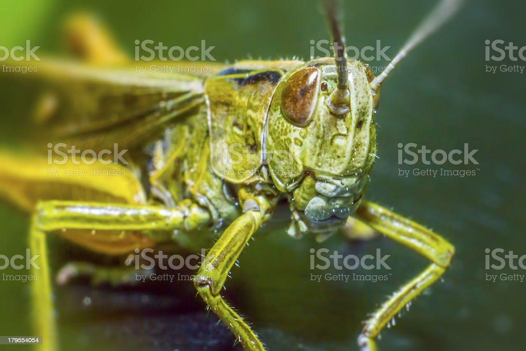 Portrait of a grasshopper stock photo