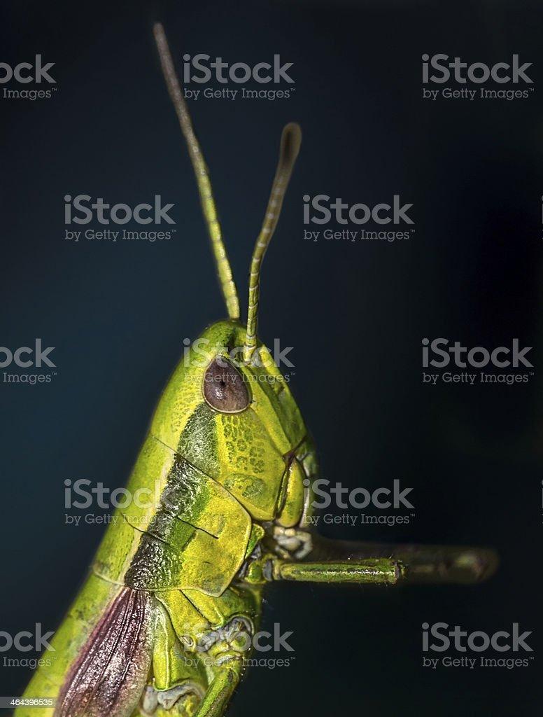 Portrait of a grasshopper royalty-free stock photo