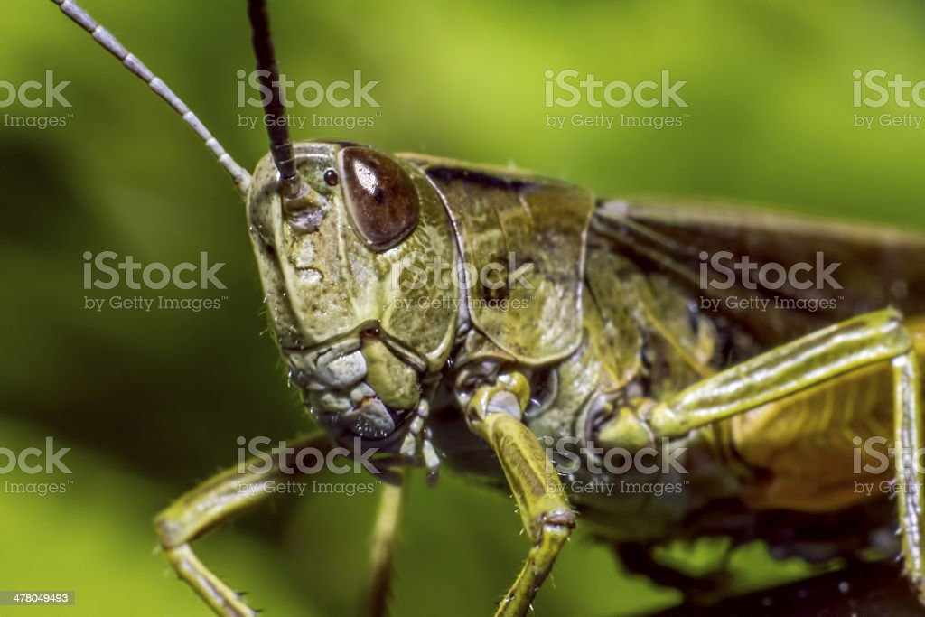 Portrait of a grasshopper stock photo