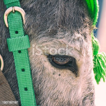 istock Portrait of a gray donkey in bridle 1307187197
