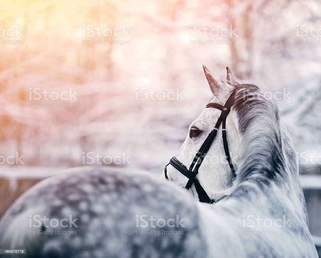 A portrait of a gray sports horse in the winter stock photo
