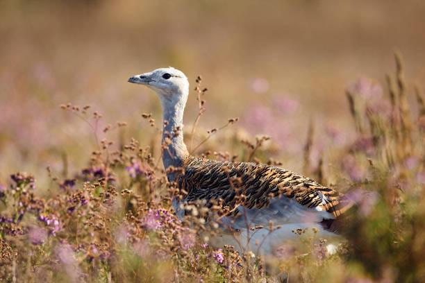 Portrait of a Great Bustard (otis tarda) in the grass. Wildlife scene from Hungary. stock photo