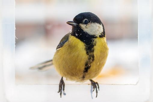 Portrait of a great tit. Bird sitting