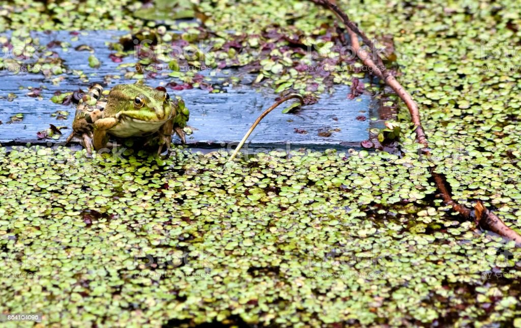 portrait of a green frog on a background of grassy pond royalty-free stock photo