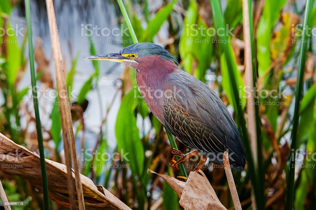 portrait of a green heron stock photo