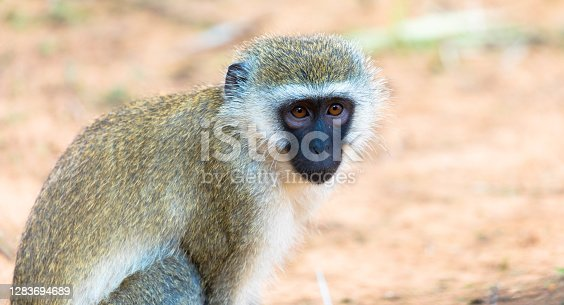 A Portrait of a Green Vervet Monkey in natural habitat, africa