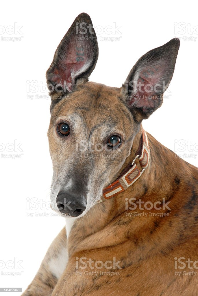 Portrait of a Greyhound royalty-free stock photo