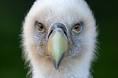 Portrait of a griffon vulture (Gyps fulvus). The griffon vulture (Gyps fulvus) is a large Old World vulture in the bird of prey family Accipitridae.