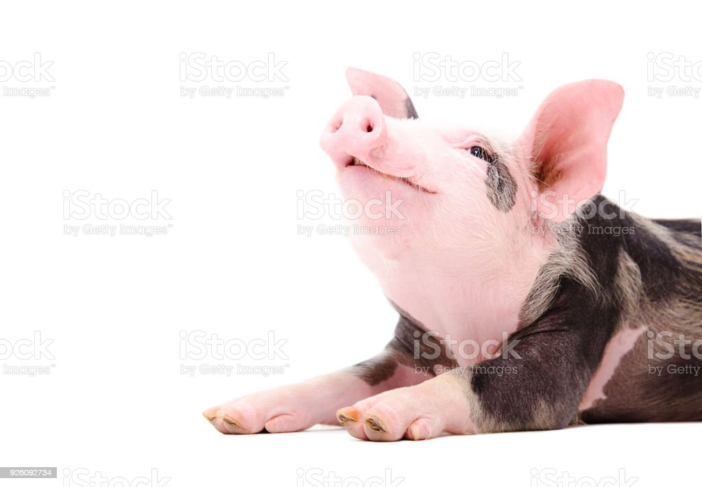 Portrait of a grunting piglet stock photo