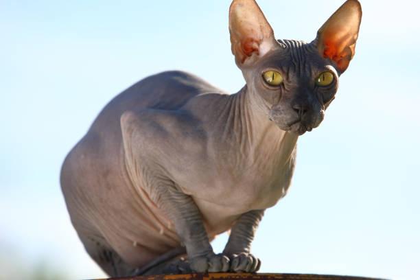 Retrato de un gato de esfinge canadiense sin pelo - foto de stock