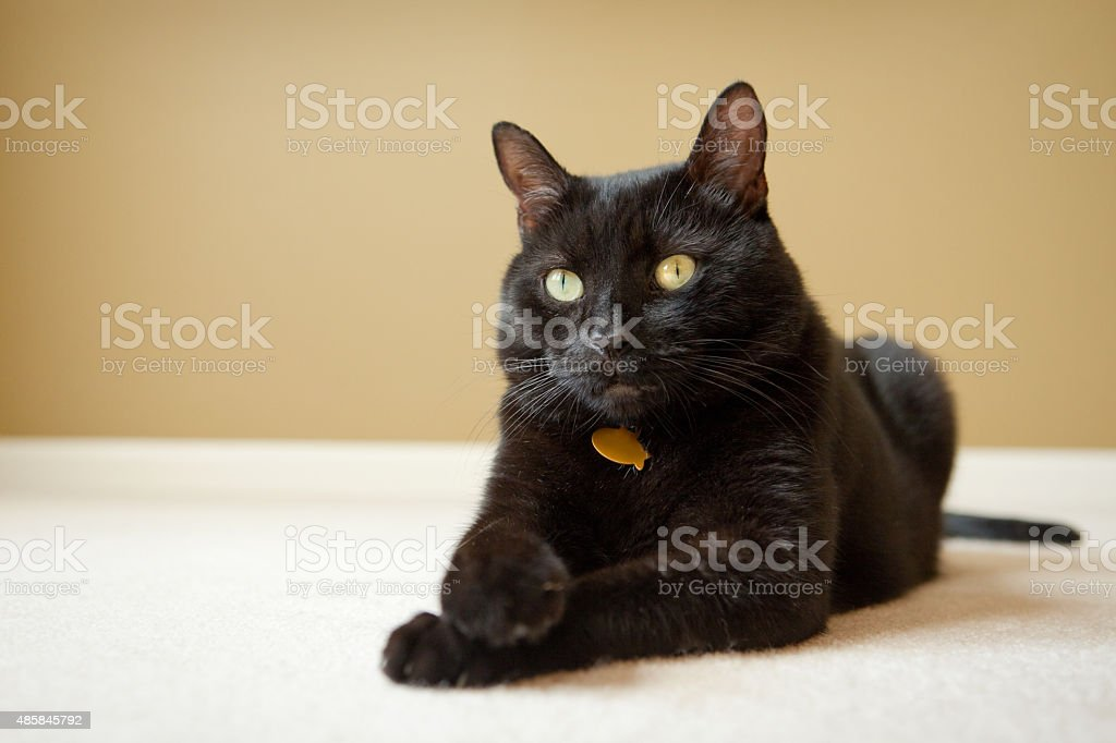 Portrait Of A Handsome Black Cat stock photo