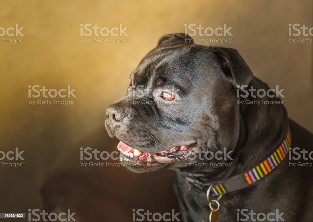 Portrait of a handsome staffordshire bull terrier stock photo