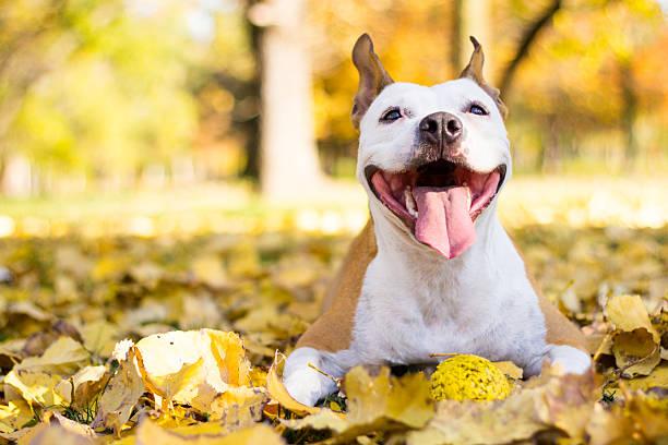 Portrait of a happy dog picture id497157092?b=1&k=6&m=497157092&s=612x612&w=0&h= uuemt9bvhfabxmye96wqwo9rn0oz zlxbhvlxarjie=