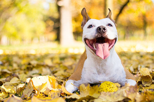 Royalty Free Pit Bull Terrier Pictures, Images and Stock ... - photo#48