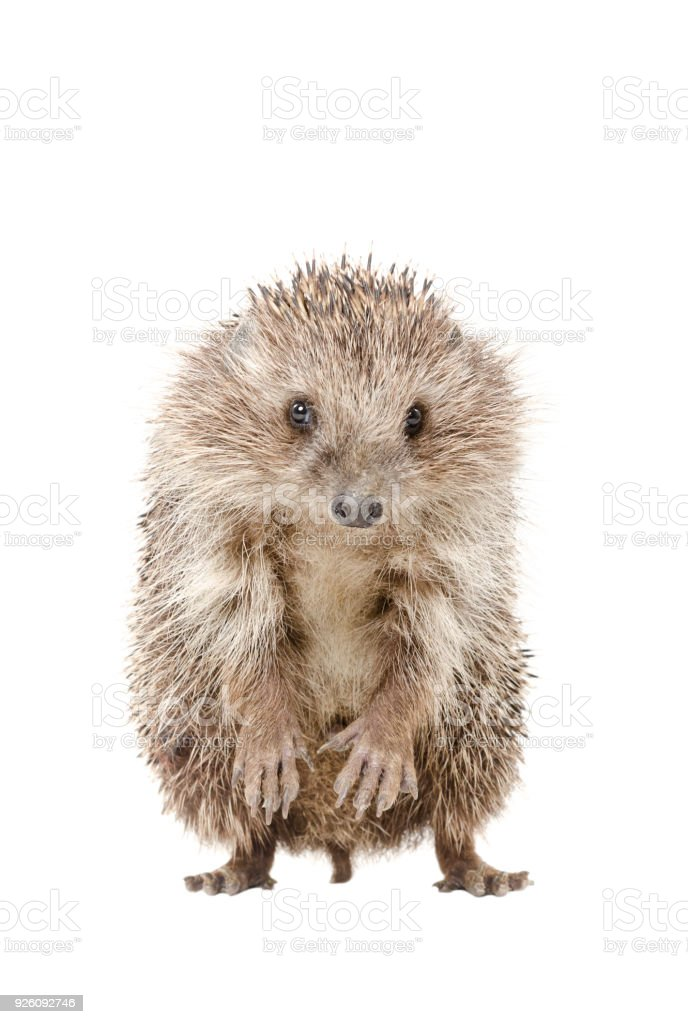 Portrait of a hedgehog standing on his hind legs stock photo
