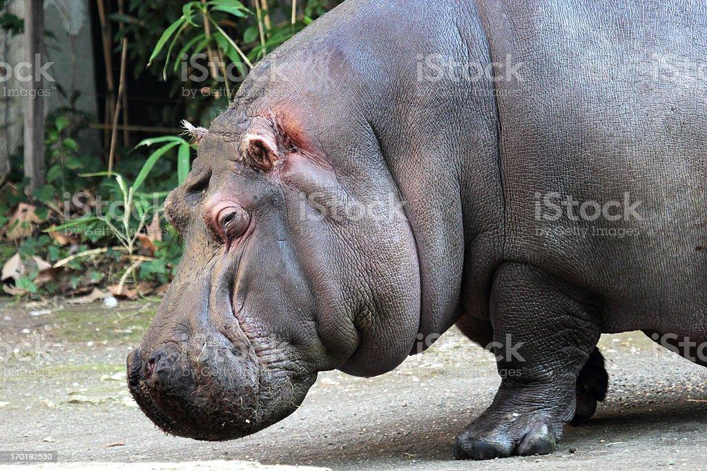 Portrait of a hippopotamus royalty-free stock photo
