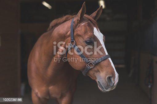 A magnificent horse stands in the barn, patiently waiting to go out. He is wearing a halter and looking to the right side of frame.