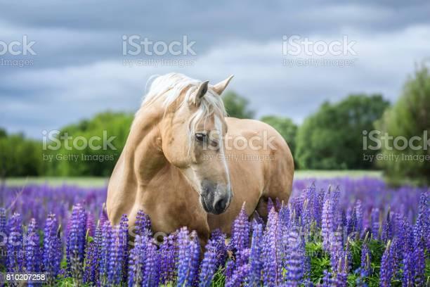 Portrait of a horse picture id810207258?b=1&k=6&m=810207258&s=612x612&h=y4mxyokvkfdqu1b5juvtfhg vmskaubdzp57xnprr 0=