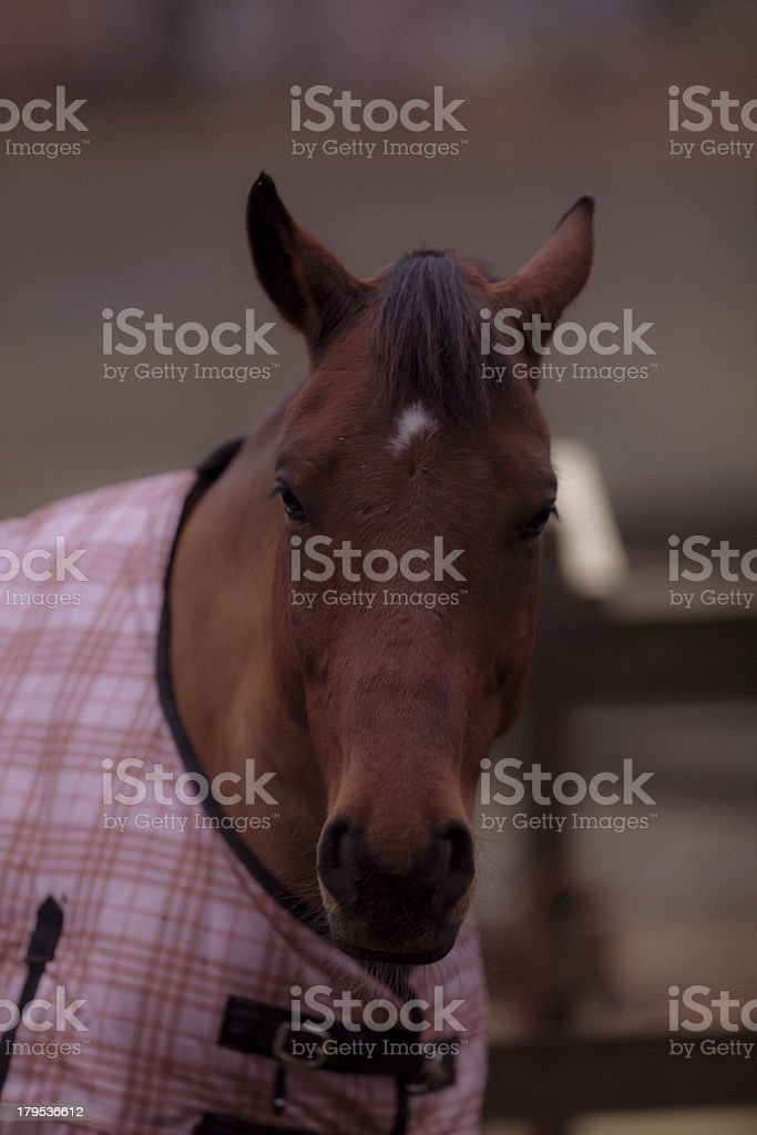 Portrait of a horse with  blanket royalty-free stock photo