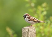 House Sparrow (Passer domesticus) perched on a post, UK.