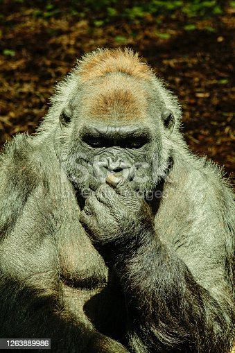 portrait of a huge and powerful gorilla in a pensive attitude. Zoo.
